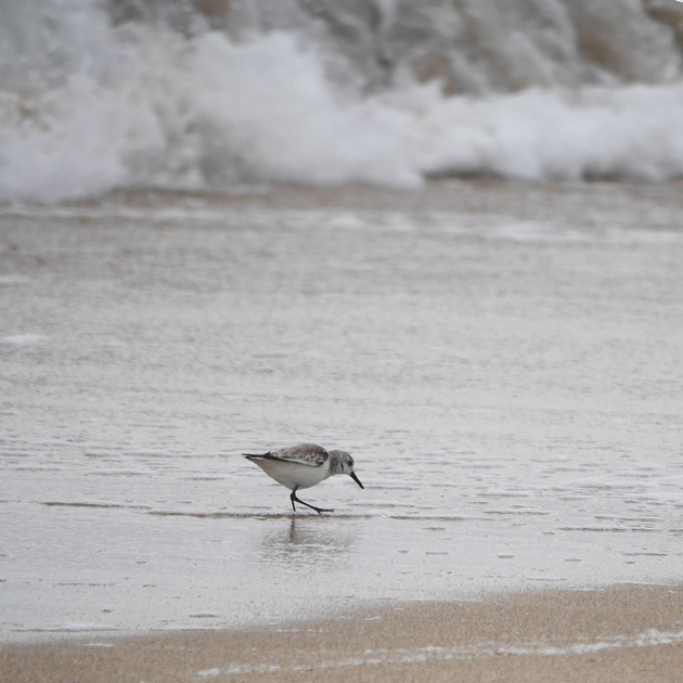 Ed Gaillard: birds &emdash; Sanderling, Ft. Lauderdale