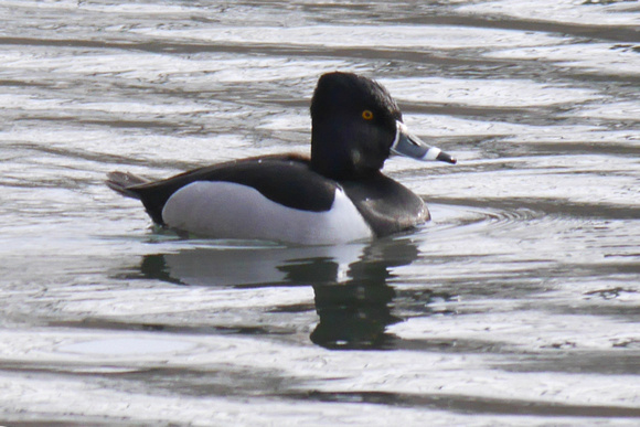 Ed Gaillard: birds &emdash; Ring-Necked Duck, Van Cortlandt Park, Bronx NY