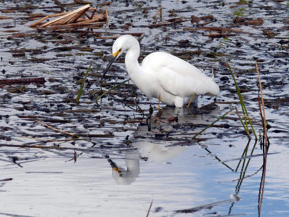 Ed Gaillard: birds &emdash; Snowy Egret, Greek Cay