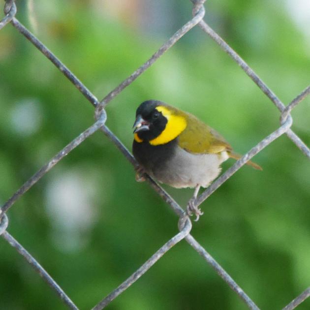 Ed Gaillard: birds &emdash; Cuban Grassquit, New Providence, Bahamas