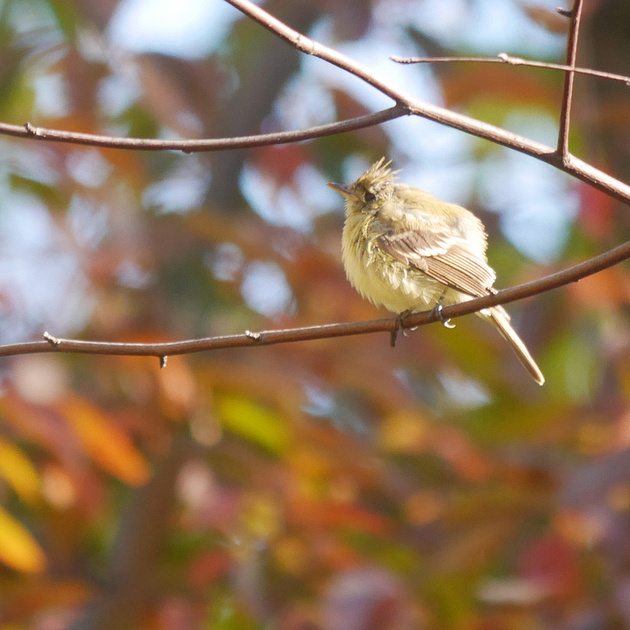 Ed Gaillard: birds &emdash; Western Flycatcher, Central Park