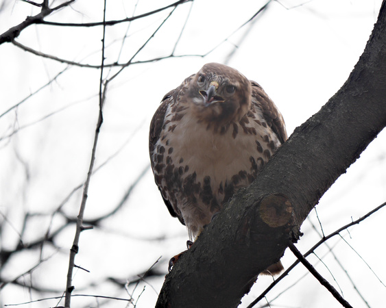 Ed Gaillard: recent &emdash; Young Red-Tailed Hawk, Central Park