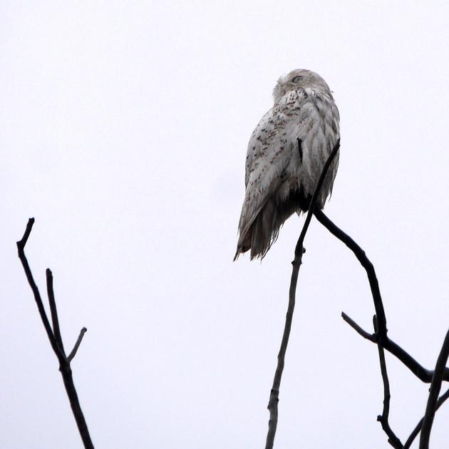 Ed Gaillard: birds &emdash; Snowy Owl, Jamaica Bay