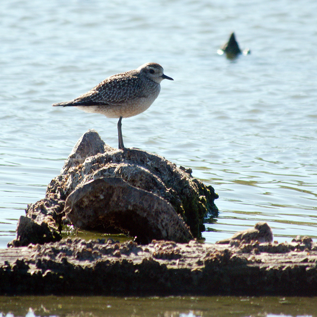 Ed Gaillard: birds &emdash; Black-Bellied Plover, Jamaica Bay
