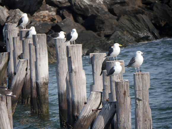 Ed Gaillard: birds &emdash; Great Black-Backed Gulls, Swinburne Island
