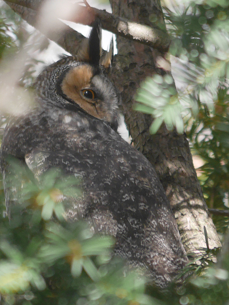 Ed Gaillard: recent &emdash; Long-Eared Owl, Central Park