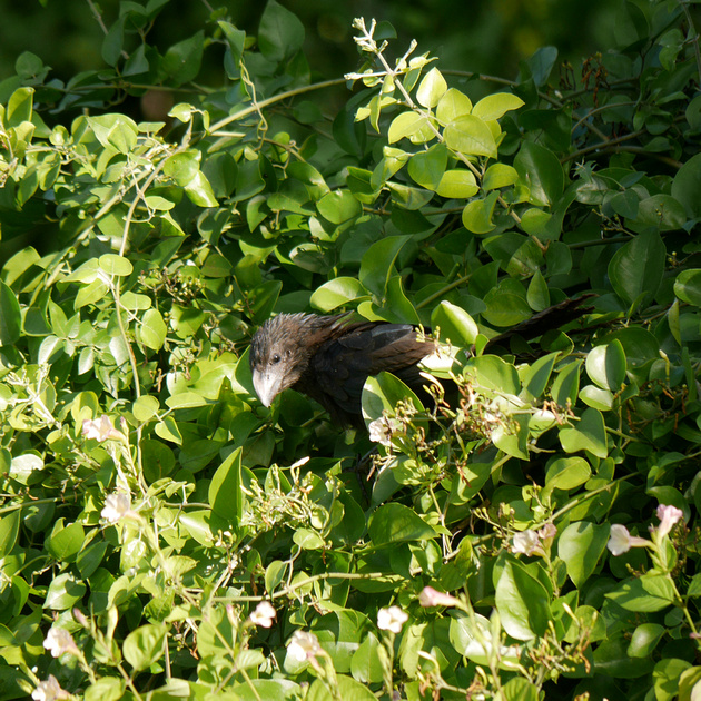 Ed Gaillard: birds &emdash; Smooth-Billed Ani, New Providence, Bahamas