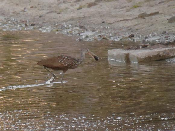 Ed Gaillard: birds &emdash; Limpkin Boynton Beach FL