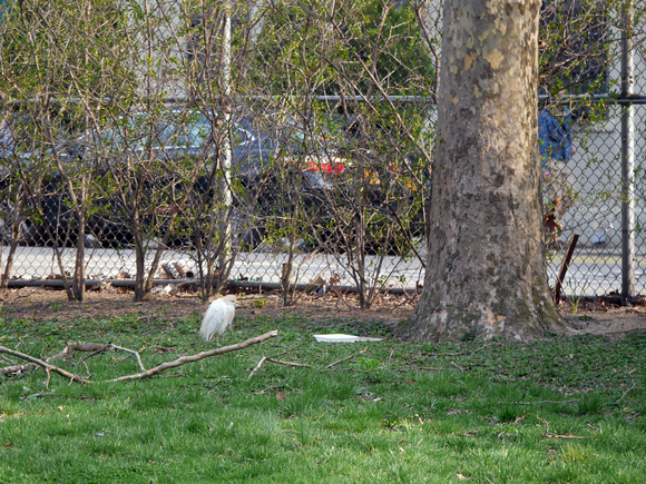 Ed Gaillard: birds &emdash; Cattle Egret, Penn South, Manhattan