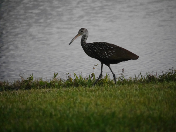 Ed Gaillard: birds &emdash; Limpkin, Boynton Beach FL