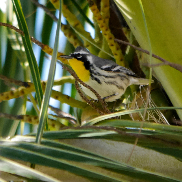 Ed Gaillard: birds &emdash; Yellow-Throated Warbler, New Providence, Bahamas