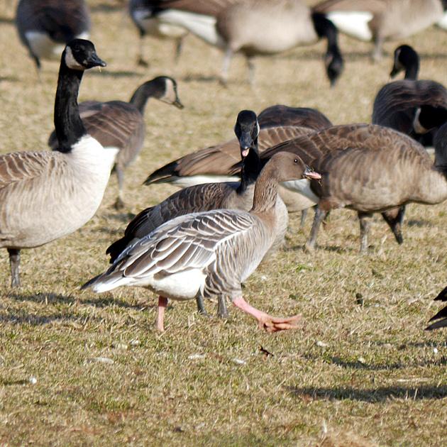 Ed Gaillard: birds &emdash; Pink-Footed Goose, Van Cortlandt Park