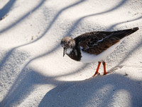 Ruddy Turnstone, New Providence, Bahamas
