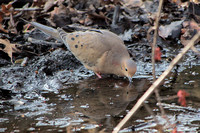 Mourning Dove, Central Park