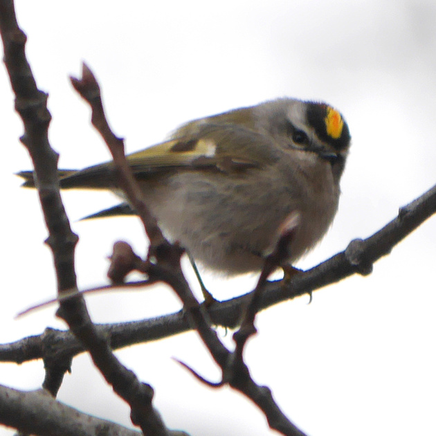 Ed Gaillard: recent &emdash; Golden-Crowned Kinglet, Central Park