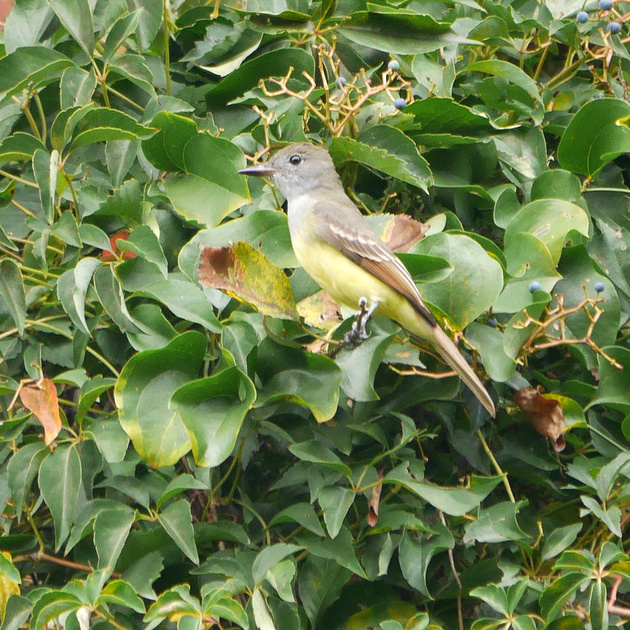 Ed Gaillard: birds &emdash; Great Crested Flycatcher, Central Park