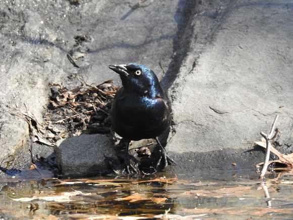 Ed Gaillard: birds &emdash; Commpn Grackle, Central Park