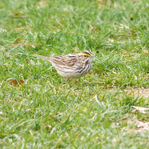 Ed Gaillard: birds &emdash; Savannah Sparrow, Central Park