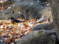 Leucistic Common Grackle, Central Park