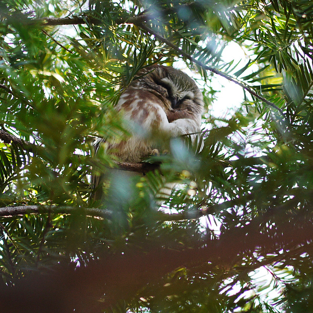 Ed Gaillard: birds &emdash; Northern Saw-Whet Owl, Central Park