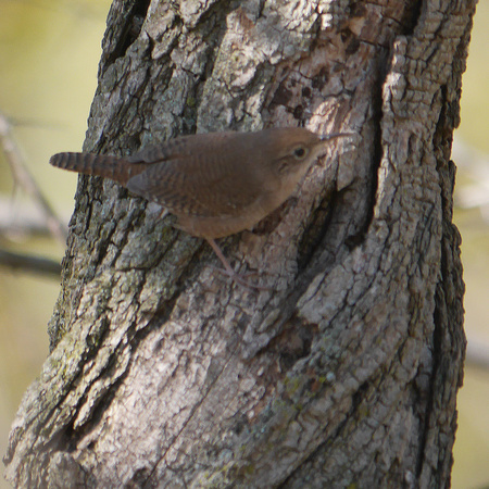 Ed Gaillard: recent &emdash; House Wren, Central Park