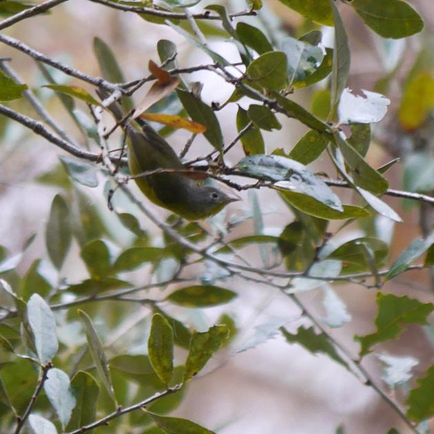 Ed Gaillard: birds &emdash; Nashville Warbler, Green Cay