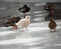 Iceland Gull and Mallards, Central Park Lake