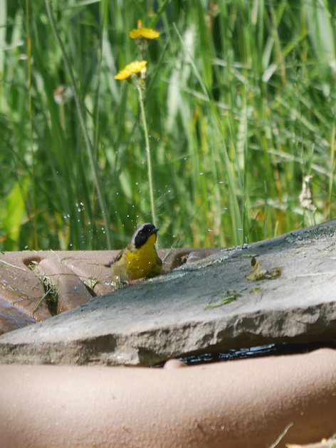 Ed Gaillard: birds &emdash; Common Yellowthroat bathing, Prattsville NY