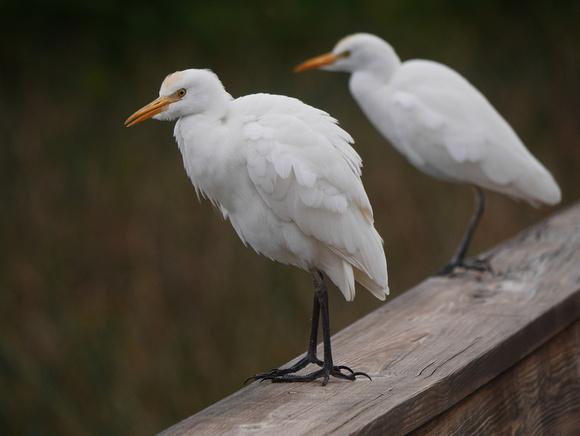 Ed Gaillard: birds &emdash; Cattle Egret Wakodahatchee FL