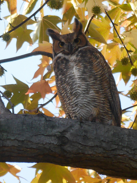 Ed Gaillard: birds &emdash; Great Horned Owl, Central Park
