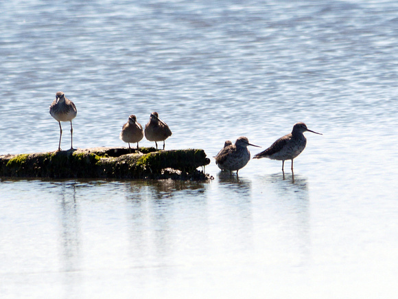 Ed Gaillard: birds &emdash; Yellowlegs, Dowitcher, others (Jamaica Bay)