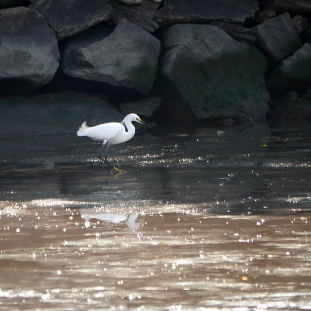 Ed Gaillard: birds &emdash; Snowy Egret, Muscota Marsh