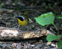 Common Yellowthroat, Central Park