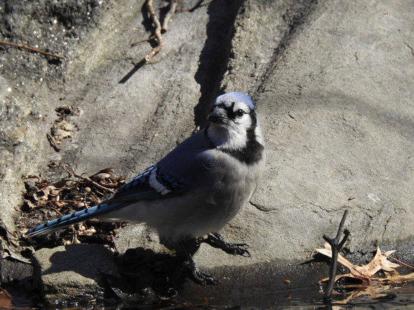 Ed Gaillard: birds &emdash; Blue Jay, Central Park