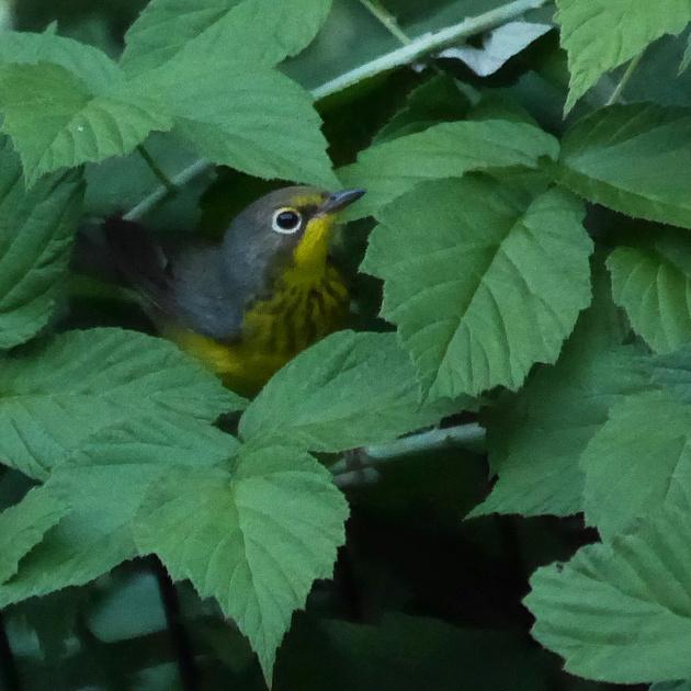 Ed Gaillard: birds &emdash; Canada Warbler