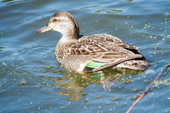 Ed Gaillard: birds &emdash; Green-Winged Teal, Central Park