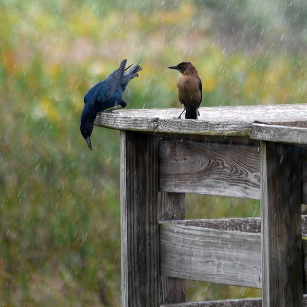 Ed Gaillard: birds &emdash; Boat-Tailed Grackle, Green Cay