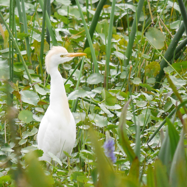 Ed Gaillard: birds &emdash; Cattle Egret, Green Cay