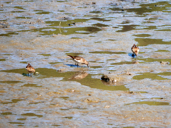Ed Gaillard: birds &emdash; Least Sandpipers, Spuyten Duyvil Creek