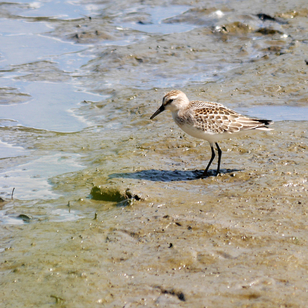 Ed Gaillard: birds &emdash; Semipalmated Sandpiper, Spuyten Duyvil Creek