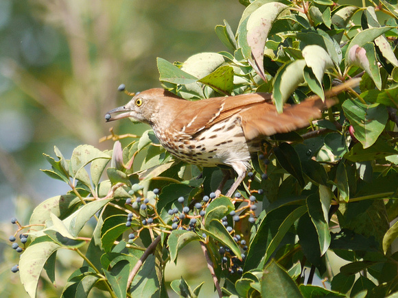 Ed Gaillard: birds &emdash; Brown Thrasher, Central Park