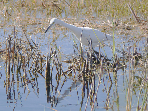 Ed Gaillard: birds &emdash; LIttle Blue Heron, Loxahatchee NWR