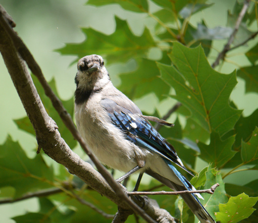 Ed Gaillard: birds &emdash; Blue Jay posing, Central Park