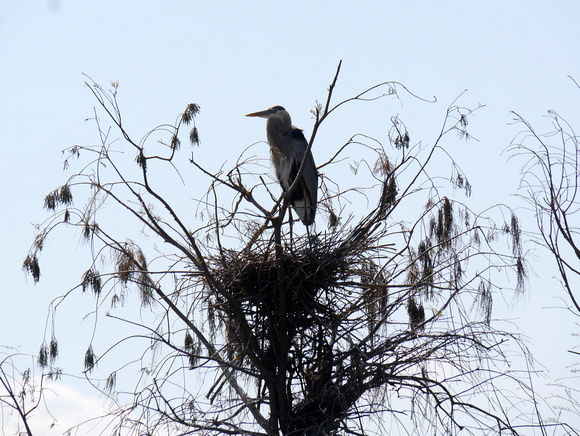 Ed Gaillard: birds &emdash; Great Blue Heron nest, Green Cay