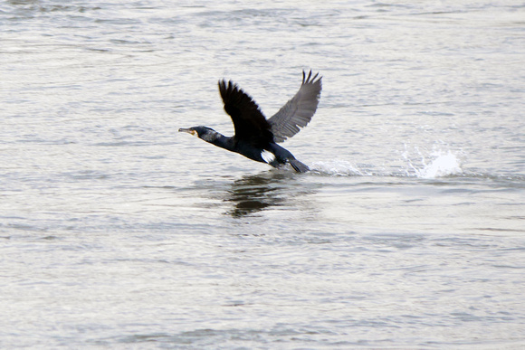 Ed Gaillard: recent &emdash; Great Cormorant, Randall's Island