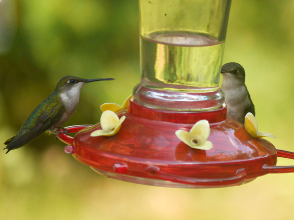 Ed Gaillard: birds &emdash; Ruby-Throated Hummingbirds, Traveler Food & Books