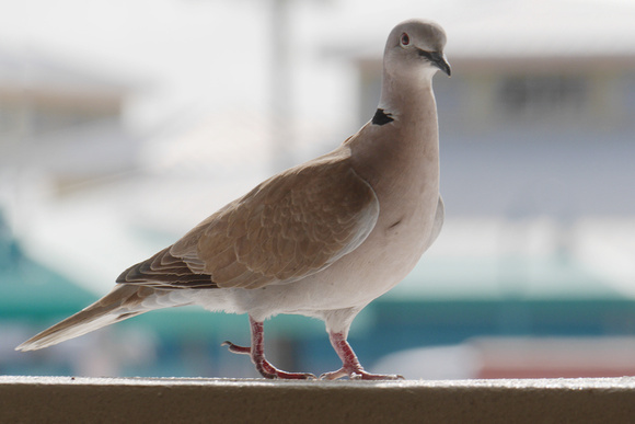 Ed Gaillard: birds &emdash; Eurasian Collared-Dove, New Providence, Bahamas
