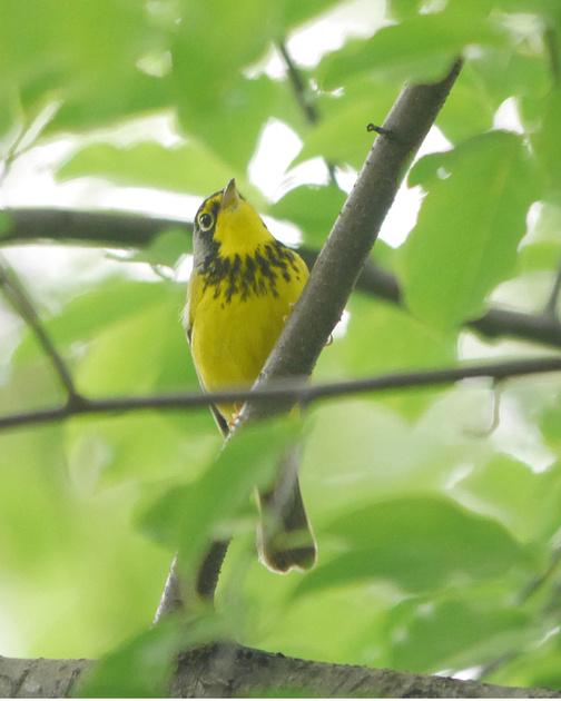 Ed Gaillard: birds &emdash; Canada Warbler, Central Park