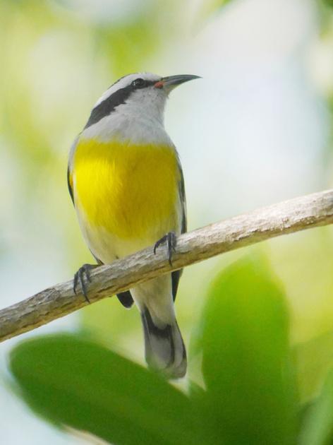 Ed Gaillard: birds &emdash; Banaaquit, New Providence, Bahamas