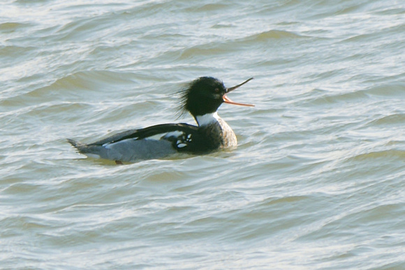 Ed Gaillard: recent &emdash; Red-Breasted Merganser, Randall's Island
